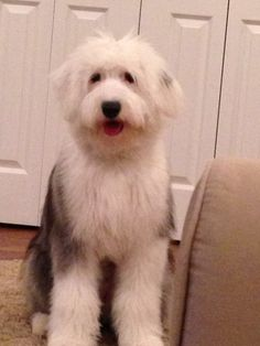 Molly -- old English sheepdog, 6 months.