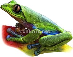 Blue-Sided Tree Frog (Agalychnis annae) Line Art and Full Color Illustrations Frog Art, Illustration Art, Illustrations, Stock Art, Tree Frogs, Amphibians, Colour Images, Habitats, Line Art