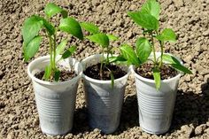 Photo about Pepper seedlings in plastic cups. Image of farm, herbs, kitchen - 14289301 Plastic Cups, Natural, Planter Pots, Herbs, Stuffed Peppers, Garden, Education, Kitchen, Youtube