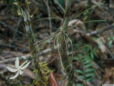 Taeniophyllum fragrans