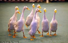 Runner ducks - the most awesome duck variety!