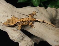 Female extreme harlequin Crested Gecko for sale