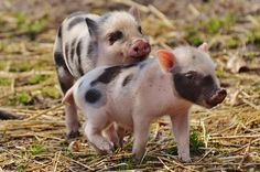 Pigs are just the cutest! Here are 13 reasons to keep bacon off of our plates. Which (if not all) will you share with your students? Kind Teacher Tip: Keep animal facts posted in your classroom at all times to remind your students that ALL animals are fascinating and deserving of respect. #TeachKind #HumaneEducation #Animals #Pigs #FriendsNotFood #Vegan