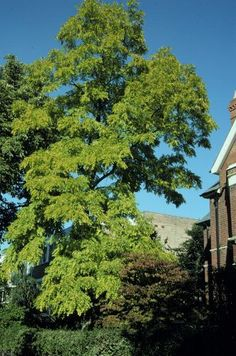 The black locust tree has a graceful form, is a hardwood (enduring) and has amazing white blooms in early summer that fill the street with intoxicating fragrance.