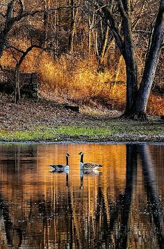 Canada Geese in Autumn...