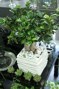 ficus ginseng et succulentes Planting Plants, Potted Plants, Ficus Ginseng, Ficus Microcarpa, Indoor Bonsai, Bonsai Garden, Blooming Plants, Fig Tree, African Art