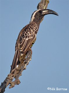 The African Grey Hornbill is a familiar species of the open savannahs in Uganda.