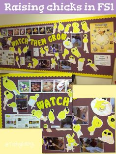 'Raising chicks' a display by my colleague Winstanley School Displays, Classroom Displays, Spring Activities, Science Activities, Reception Activities, Eyfs Classroom, Farm Unit, Little Red Hen, Spring Theme