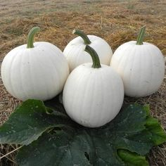"""""""Moonshine"""" Pumpkin from Harris Seeds. Squash Seeds, How To Make Pie, All Vegetables, White Pumpkins, Fall Pumpkins, Grow Your Own Food, Thanksgiving Table, Flower Seeds, Outdoor Living"""