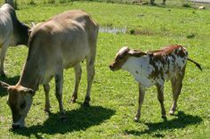 Zebu cattle stand out due to the hump in their back behind their shoulder blades!
