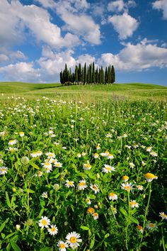 Daisies on Cypress Hill: San Quirico d'Orcia - Tuscany, Italy