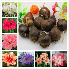 True Amaryllis Bulbs,Hippeastrum Bulbs bonsai flower bulbs Amarilis Rizomas Bulbos Barbados Lily potted garden plant - 1 bulb -- Find similar products by clicking the image
