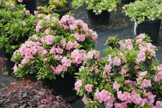 I love these new varieties of shrubs for 2020. So many pretty flowers that I can't wait to plant in my garden border next spring. | Shade Perennials Partial Shade Perennials, Shade Flowers Perennial, Shade Loving Shrubs, Flowers Perennials, Shade Plants, Shade Garden, Garden Plants, Perennial Bushes, Lilac Varieties