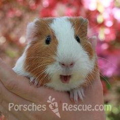 Working towards decreasing euthanasia rates, raising the status of small animals as treasured companions, and taking social action to improve their wellbeing. Porsche's Rescue rehomes all small animals; rabbits, guinea pigs, mice, rats, ferrets, chickens and more!
