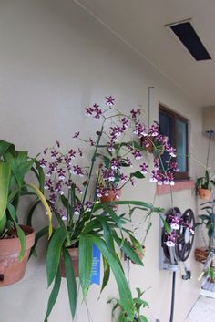 Award winning orchid with chocolate fragrance in clay pot secured to stucco wall with Hangapot, the hidden hanger. www.hangapot.com
