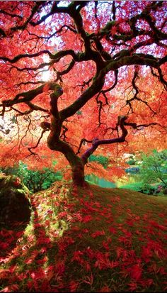 The famous maple at Portland's Japanese Garden in Oregon • photo: Judy Paul