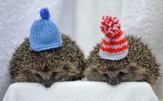 Hedgehogs with Hats
