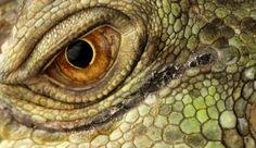 """Eye quiz: A close-up view of an eye of a Green Iguana"" Animal Close Up, Close Up Art, Eye Close Up, Eye Makeup Red Dress, Blue Eye Makeup, Iris Painting, Green Iguana, Eye Sketch, Dragon Eye"