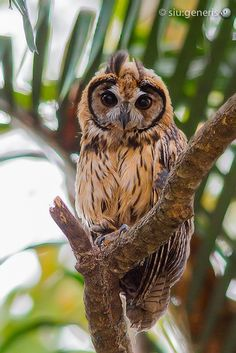 Striped Owl by Siu Generis Beautiful Owl, Animals Beautiful, Cute Animals, Pretty Birds, Love Birds, Nocturnal Birds, Wild Creatures, Owl Bird, Tier Fotos