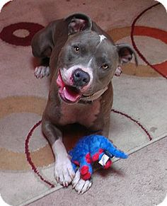Livermore, CA - Pit Bull Terrier Mix. Meet Rufus a Dog for Adoption.