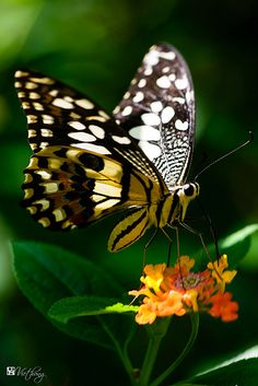 Striking black and white butterfly enjoying nature! Butterfly Kisses, White Butterfly, Butterfly Flowers, Flying Flowers, Butterflies Flying, Beautiful Bugs, Beautiful Butterflies, Beautiful Creatures, Animals Beautiful