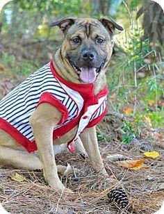 Media, PA - Boxer/Shar Pei Mix. Meet HANK NUBBY Jr., a dog for adoption. http://www.adoptapet.com/pet/11745467-media-pennsylvania-boxer-mix