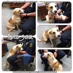 05/20/15-  Saving Animals from Euthanasia in Texas May 18 · Edited ·     Smith County Tyler, TX  TITO, Cause# 902 Male, White & Brown Lab Mix 1 year old, 34 lbs. ***Picked up on CR 419*** Intake: 5/18, no chip   TAG by ***THURSDAY*** May 21st BEFORE 5 PM! Pickup will be FRIDAY May 22nd at 10:30 AM.   MUST BRING CRATES AT PICKUP OR WILL NOT BE RELEASED!!