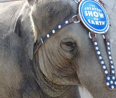 "of Ringling Bros captured elephants who are forced to perform humiliating tricks to ""entertain"" people. Animal Rights Articles, Ringling Bros Circus, Born To Be Wild, Its Time To Stop, Pets 3, Animal Testing, Save Animals, Puppy Mills, Wire Wrapped Earrings"