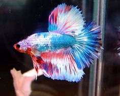 #fish #siamesefightingfish #betta--<3 Fresh Water Fish <3 --