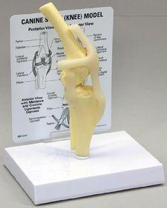 Amazon.com: Canine Anatomical Model Starter Set of Five. Veterinary Set #1 Special Sale: Industrial & Scientific