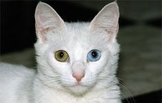 Google Image Result for http://images.nationalgeographic.com/wpf/media-live/photos/000/140/cache/white-cat-1152278_14029_600x450.jpg