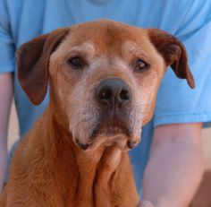 Grandma Cinnamon is a docile, heartbroken girl who reminds us that every day is precious.  She is reportedly 10 years of age, but we believe she is just as likely 14 or 15.  Grandma Cinnamon is a Labrador Retriever & Boxer mix, spayed, good with dogs and kids, and debuting for adoption today at Nevada SPCA (www.nevadaspca.org).  She was surrendered to us by her previous owners who said they were moving.  Please help find a hero for Grandma.