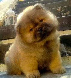 How much does a Chow Chow cost? Chow Chow puppy for sale price. Origin, attributes, personalities of Chow Chow dog breed. Cute Puppies Images, Cute Puppy Pictures, Puppy Images, Chow Chow Dogs, Puppy Chow, Beautiful Dogs, Animals Beautiful, Simply Beautiful, Cute Baby Animals