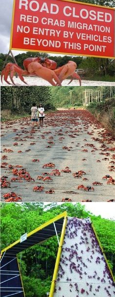 Red crab migration in Christmas Island, Australia