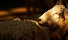 Despiece y utilización del ovino