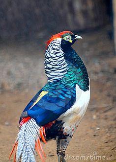Name:  lady-amherst-pheasant-8807560.jpg Views: 297 Size:  50.5 KB
