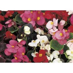 Garden Club Select�2.5-Quart Begonia (L6589)