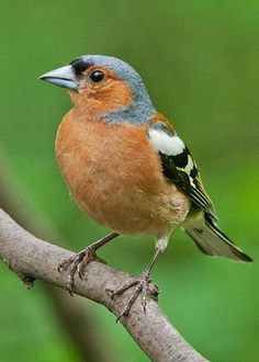 Chaffinch by M S