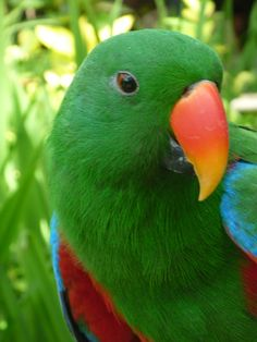 love those candy cane beaks. male eclectus
