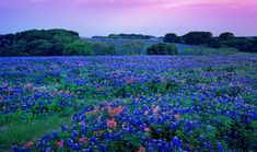 Did you know that Texas actually has five state flowers? Before you get all up in arms, let me tell you what they are! Bluebonnets...