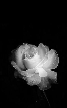 Flowers Photography Black And White Roses 25 Trendy Ideas White Roses Background, Black Flowers Wallpaper, Black Phone Wallpaper, Flower Phone Wallpaper, Flower Wallpaper, Iphone Wallpaper, Beautiful Rose Flowers, Beautiful Flowers Wallpapers, Beautiful Nature Wallpaper