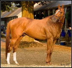 CURLIN (USA) Ch h 2004, Smart Strike (Can) - Sherriff's Deputy. The highest North American stakes-winner with earnings of over US10.5 million. American Horse of the Year in 2007 and 2008.