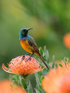 Orange-breasted Sunbird by iSGTW, via Flickr