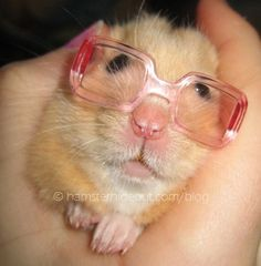 Hammy the nerd so funny the nerd hamster!