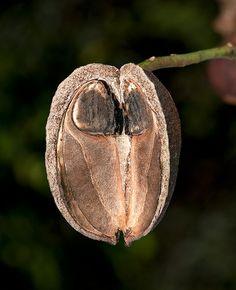 Carnarvonia araliifolia var. araliifolia seeds