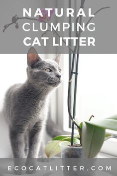 Which is the BEST natural cat litter that clumps? We compare the pros and cons of four types of natural clumping litter to find out! Natural Cat Litter, Best Cat Litter, Cat Care Tips, Pet Tips, Automatic Litter Box, Clumping Cat Litter, Three Cats, Cat Scratching Post, Travel Humor