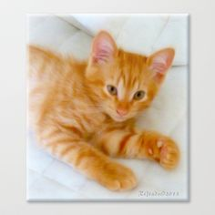 Quo - Kitten Photography By Giada Rossi Stretched Canvas by Giada Rossi - $85.00