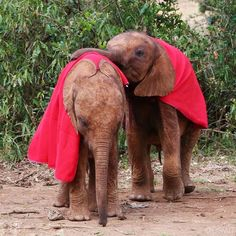 #tbt, 2014: Best friends (and occasional blanket rivals) Ndotto and Lasayen have been inseparable from the moment they met. Born and rescued within weeks of each other, this little duo has grown up together at the DSWT. Although they're much bigger now, some things never change: Lasayen still has his eye on his buddy's things; they recently got into a tiff when he tried to snatch Ndotto's lucerne pellets! • To foster either of these orphaned elephants, click the link in our bio or visit…