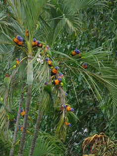 Large flock of Red-Collared Lorikeets roosting in a tree in Darwin, Northern Territory, Australia