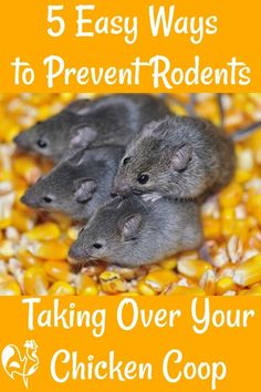 Because prevention is better than cure! 5 easy ways to stop rodents taking over your chicken coop. #backyardchickens #rats #chickencoop #ratsgetridof #backyardchickensbeginnerstips #rodentsgetridof